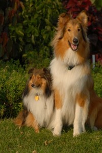Shetland_Sheepdog_and_Rough_Collie