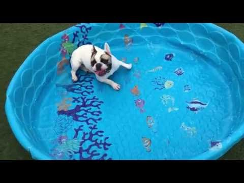 French bulldogs don't need water to swim (HQ)